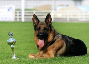 Bảng xếp hạng thông minh của các loài chó