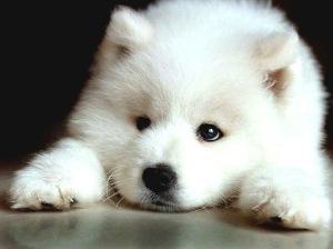 Cách nuôi và chăm sóc giống chó Samoyed
