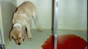 Chó đi ngoài ra máu