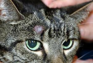 Những Vấn Đề Về Da Ở Mèo