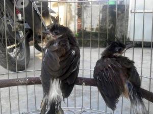 Cách trị sâu lông cho chim chào mào