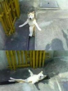 Thật ra husky chỉ là một lũ ngốc