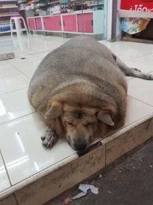 Chú chó mập đến nỗi nhìn như heo